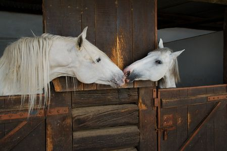 Two white horses kissing in stable