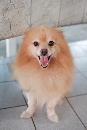 Pomeranian dog on the floor. Adorable dog. Focus face of dog