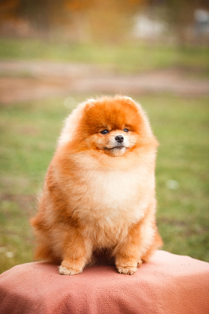German spitz red color on a background of nature