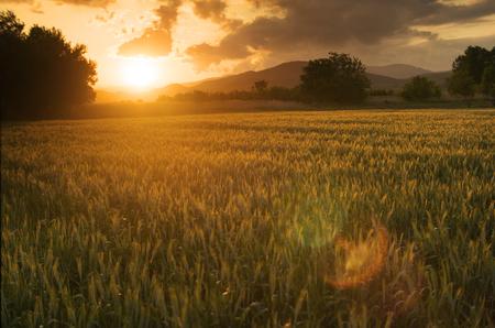 Photo pour Beautiful golden sunset over fields of barley. - image libre de droit