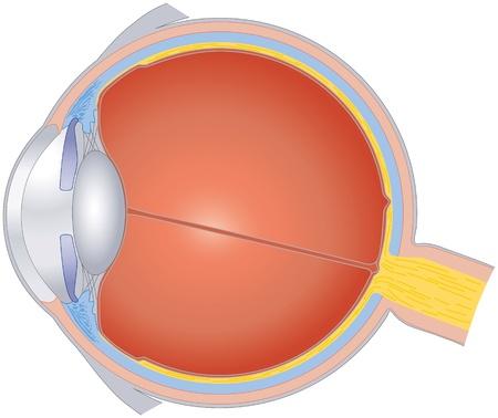 Illustration pour Structures Of The Human Eye - image libre de droit
