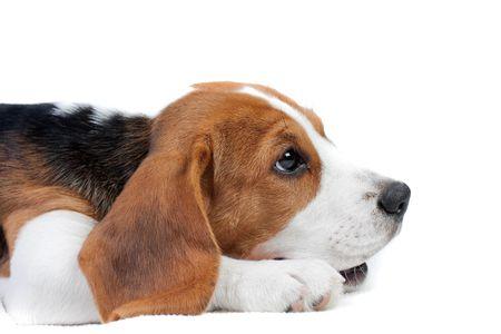 Cute small dog lying on the floor. Beagle puppy
