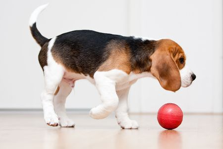 Dog playing with red ball. Beagle puppy