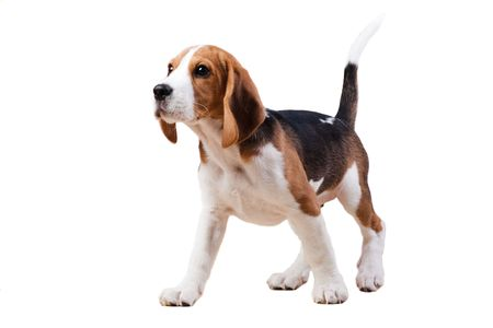 Young puppy of beagle breed. Isolated over white