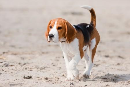Small dog, beagle puppy walking on the beach