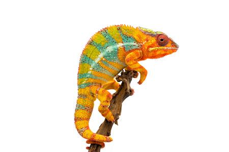 Foto de Yellow blue lizard Panther chameleon isolated on white background - Imagen libre de derechos