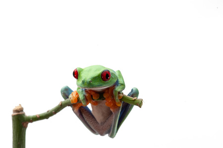 Photo pour Red eyed tree frog isolated on white background - image libre de droit