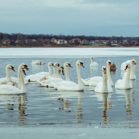 Foto de lot of swans on the lake in winter day - Imagen libre de derechos