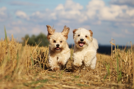 Photo for Two small dogs are running in a stubble field - Royalty Free Image
