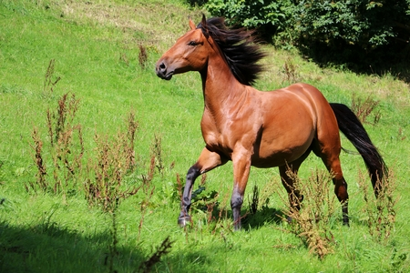 Foto de brown horse is running on the paddock in the sunshine - Imagen libre de derechos