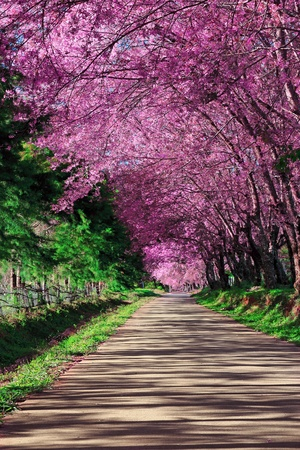Photo pour Cherry Blossom Pathway in ChiangMai, Thailand - image libre de droit