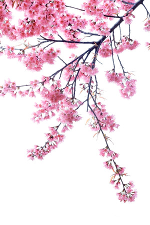 Photo for cherry blossom isolated white background - Royalty Free Image