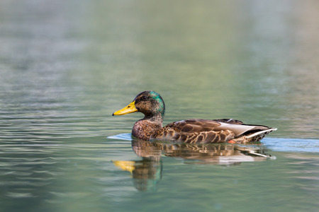 Foto de natural female mallard duck (anas platyrhynchos) swimming in sunlight - Imagen libre de derechos