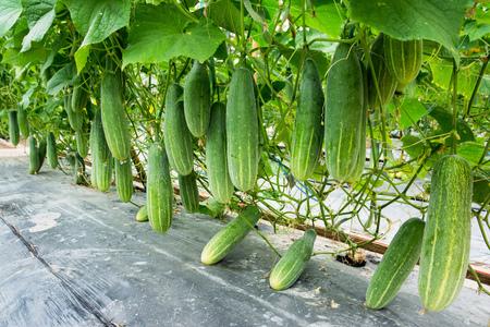 Photo pour Cucumber growing at farm background - image libre de droit
