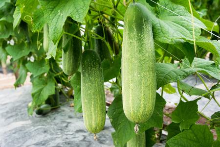 Foto de Closeup cucumber growing at farm background - Imagen libre de derechos