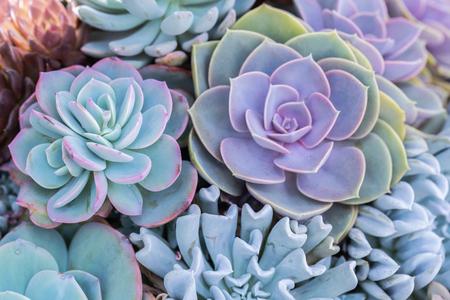 Photo pour Succulents or cactus in desert botanical garden for decoration and agriculture design. - image libre de droit