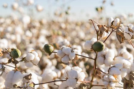 Photo pour Cotton field in full bloom - image libre de droit