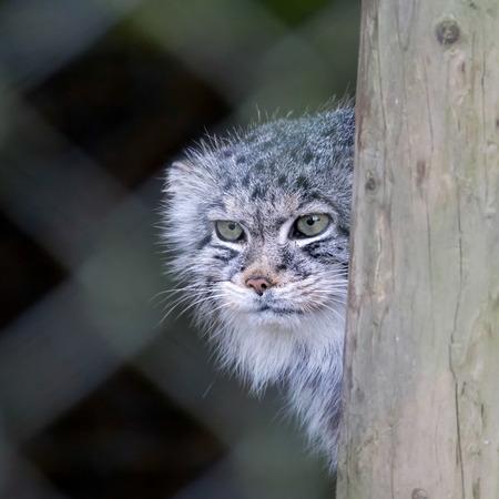 Pallas\'s cat (Otocolobus manul)