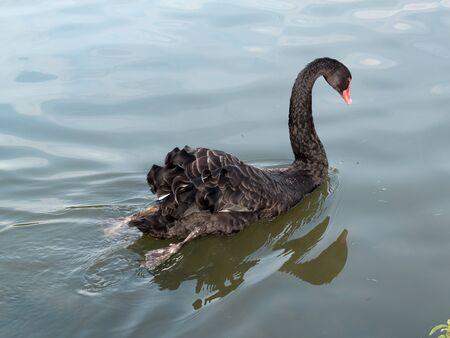 Foto de Black Swan (cygnus atratus) on a lake in Kent - Imagen libre de derechos