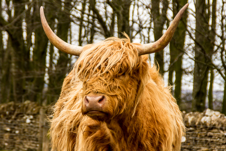 Photo pour Highland Cow - image libre de droit