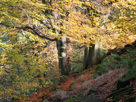 Photo for sunlit beech forest with two ancient trees in autumn with glowing golden leaves on a sloping hill in the calder valley in yorkshire near hebden bridge - Royalty Free Image