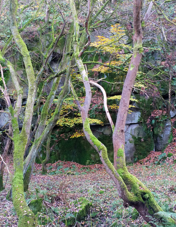 Photo for dense autumn woodland with twisted moss covered trees fallen leaves rocky outcrop and stones - Royalty Free Image
