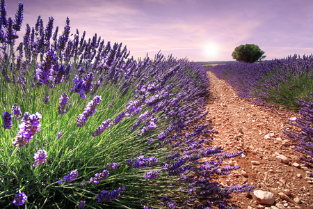 Photo pour Nice view in the field of lavender in Provence (France) - image libre de droit