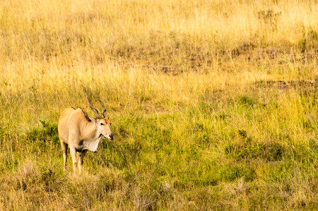Photo pour Kenya Eland isolated in the savannah countryside of Nairobi Park in Kenya - image libre de droit