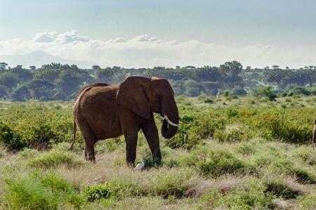 Foto de An old elephant in the savannah of Samburu Park in central Kenya - Imagen libre de derechos
