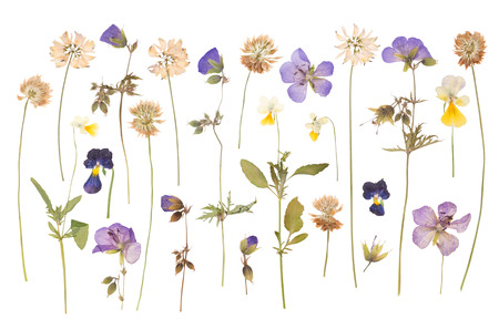 Photo pour Dry pressed wild flowers isolated on white background - image libre de droit