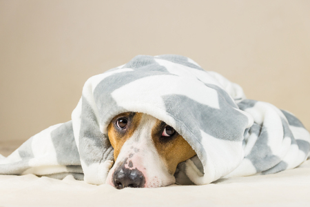 Photo pour Shy puppy in warm throw blanket rests in bedroom. Young staffordshire terrier dog on couch after bath or shower looks up in funny way - image libre de droit