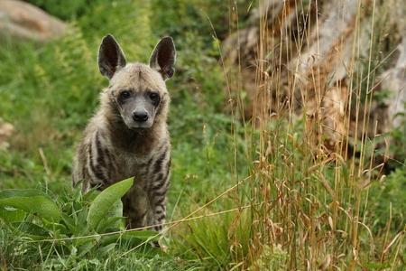 Foto de Brown hyena in the wild - Imagen libre de derechos