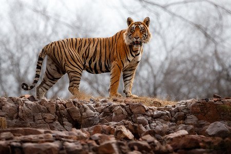 Photo for Tiger walking in the wild - Royalty Free Image