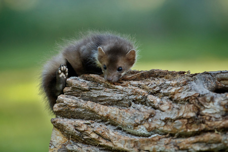 Photo for A cute beech marten - Royalty Free Image