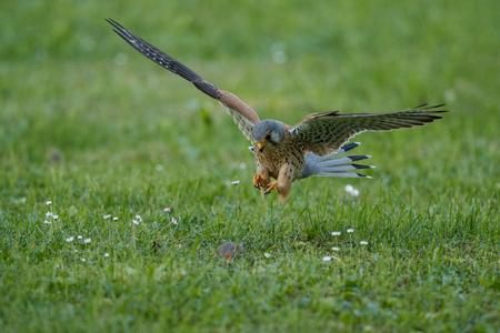 Photo pour Common Kestrel, Falco tinnunculus hunting a mouse - image libre de droit