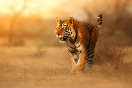Photo pour Wild tiger, Panthera tigris in its natural habitat - image libre de droit