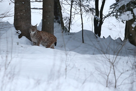 Photo for Eurasian lynx in winter day - Royalty Free Image