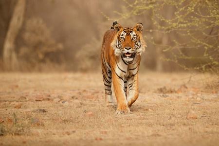 Photo pour Tiger in its natural habitat - image libre de droit