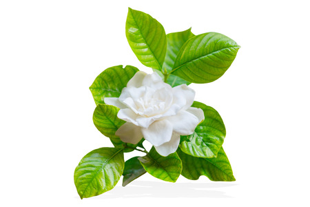 Photo pour Cape Jasmine or Gardenia jasminoides Asia tropical white flower isolated on white - image libre de droit