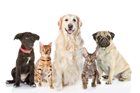 Large group of cats and dogs in front  looking at camera  isolated on white background