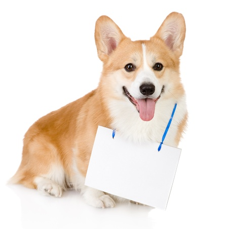 Pembroke Welsh Corgi dog with a blank banner hung on the neck  looking at camera