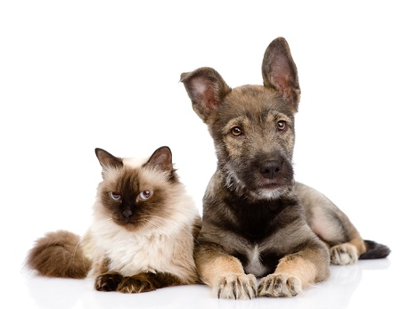 puppy and siamese cat together  isolated on white background