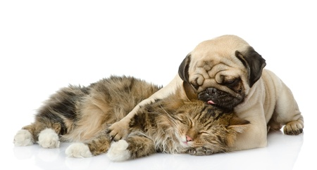 the puppy kisses a cat  isolated on white background