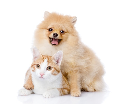 spitz dog embraces a cat  looking at camera  isolated on white background