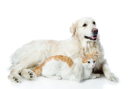 golden retriever and cat  looking away  isolated on white background
