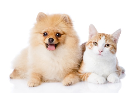 Photo for orange cat and spitz dog together  looking at camera  isolated on white background - Royalty Free Image