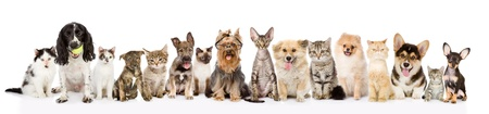 Large group of cats and dogs in front view  isolated on white background