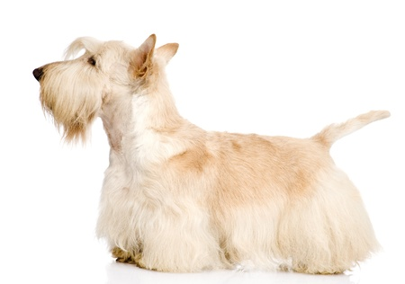 Photo pour Scottish Terrier isolated on white background - image libre de droit