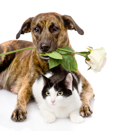cat and dog with a white rose  isolated on white