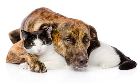 mixed breed dog and cat lying together  isolated on white background